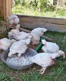 кормление цыплят бройлеров фото